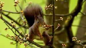 Eichhörnchen frißt and Kirschknospen